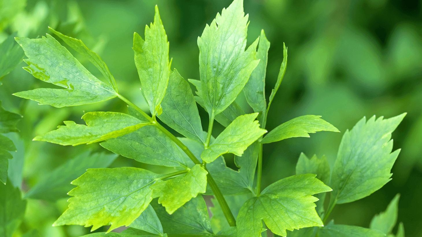 Liebstöckel - Das Maggikraut